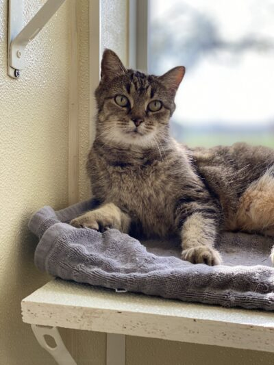 Photo of brown tabby cat available for adoption